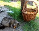 грибы лисички в корзине и кошка
